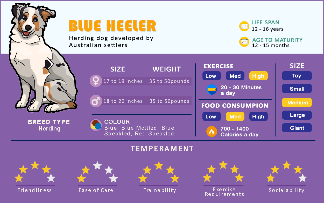 Australian Cattle dog infographics