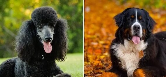 A Poodle and a Bernese Mountain dog side by side