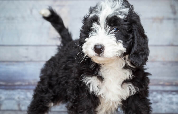 Bernese Mountain Dog Poodle mix