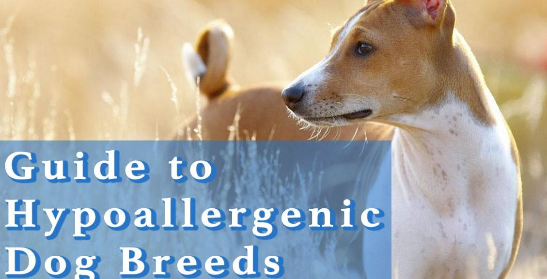 Guide_to_hypoallergenic_dog_breeds