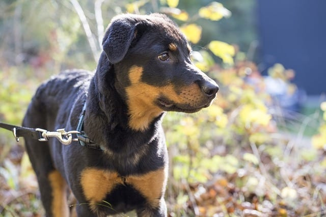 Rottweiler-German-Shepherd-Mix
