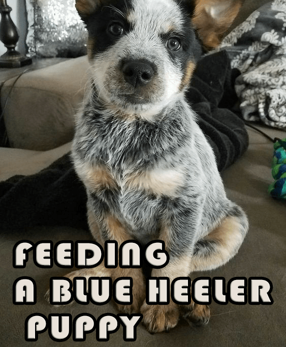 Feeding a Blue Heeler puppy