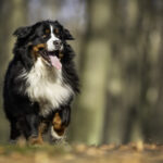 A-Bernese-Mountain-Dog cost