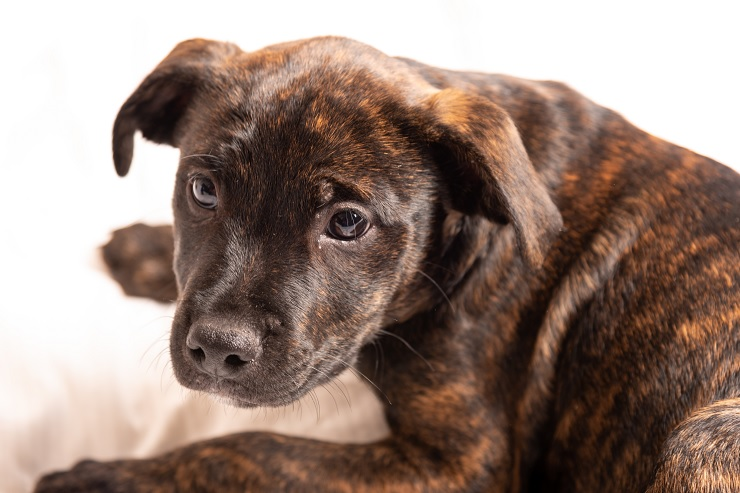 A-Brindle-Pitbull-Puppy