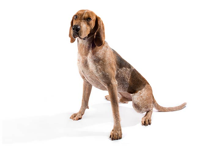 American-English-Coonhound