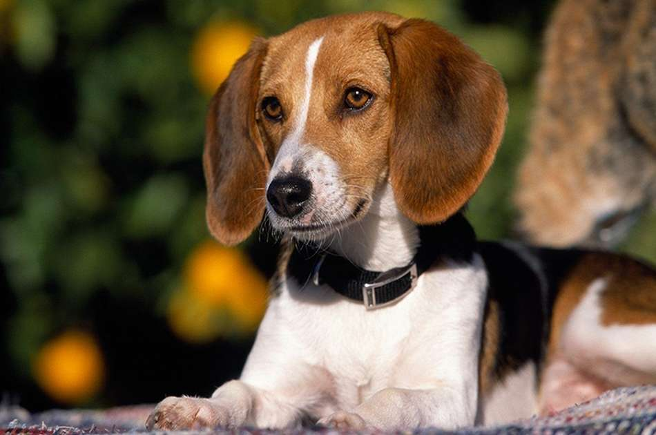 American Foxhounds guide