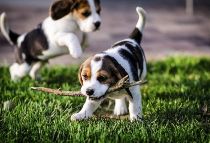 American-foxhound-puppies in the field