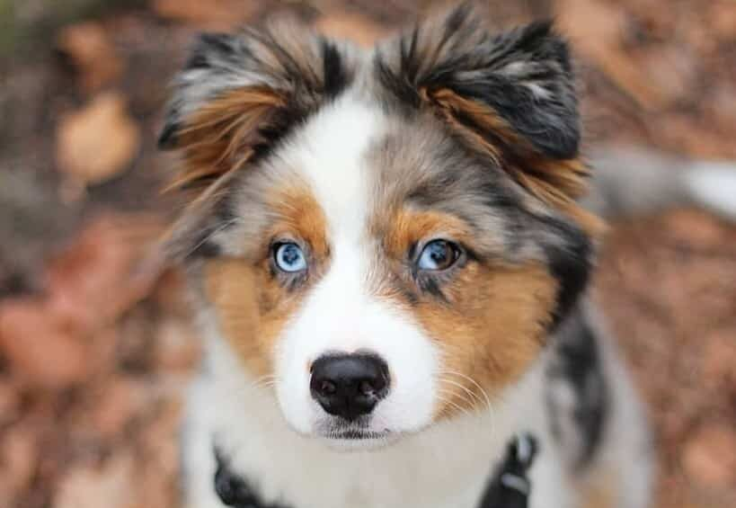 Australian Shepherd Husky mix puppy