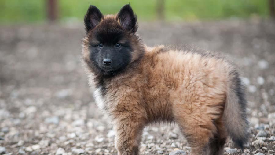 Belgian-Shepherd-Tervuren-puppy