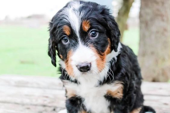 A Bernese Mountain Dog Poodle mix