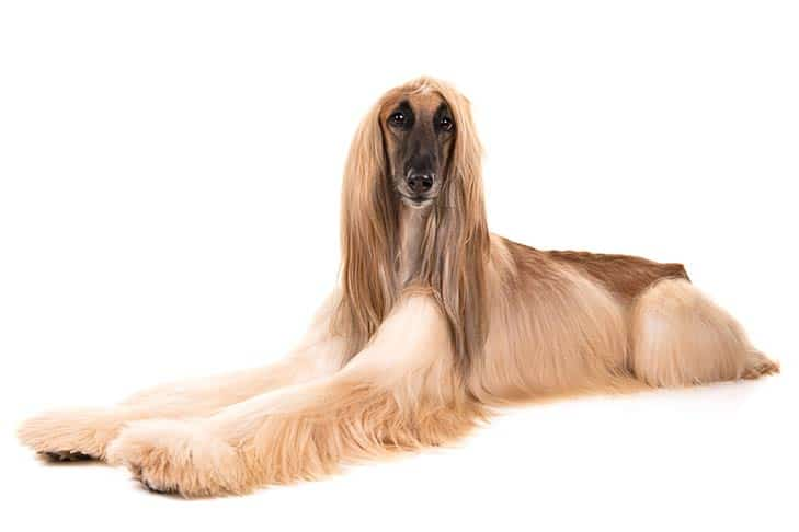 Coat-of-Your-Afghan-Hound