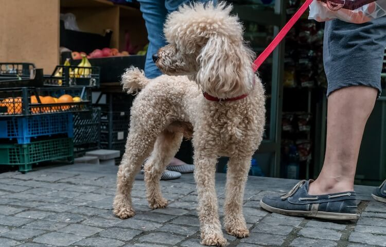 Corded-Poodle-Coat