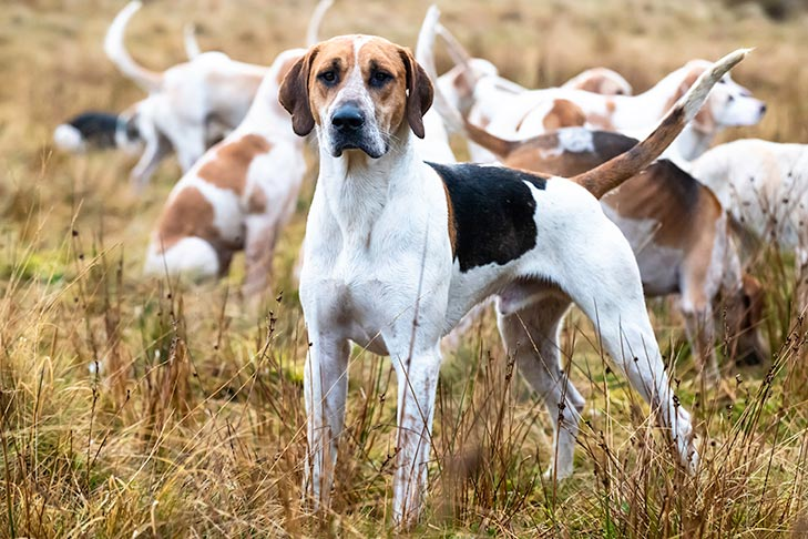 English-Foxhound-pack