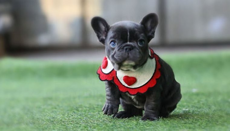 French Bulldog Mni