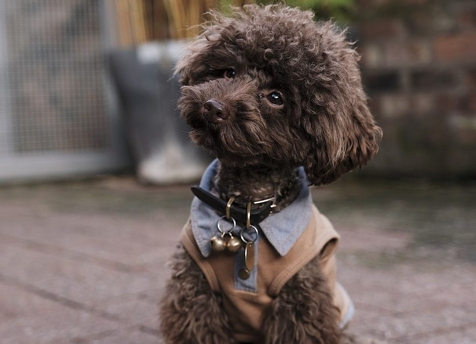 Furcut-Styles-for-Poodles