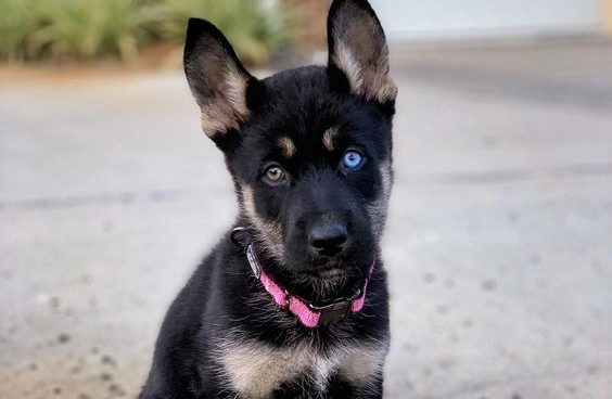 German Shepherd and Husky mix puppy