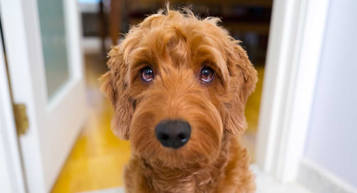 Goldendoodle-brown color