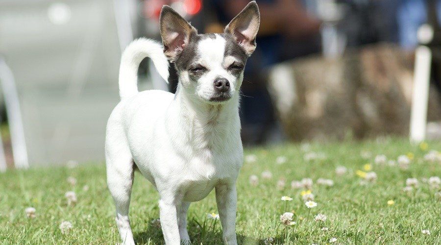 Jack-Russell-Terrier-Chihuahua-Mix