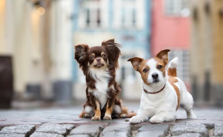 Jack-Russell-and-Chihuahua
