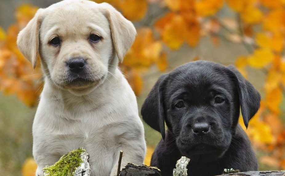 Labrador dog names