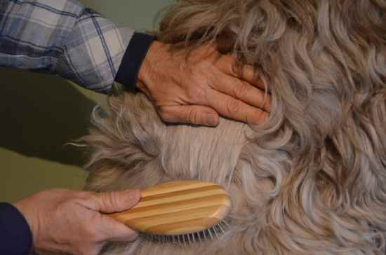 Line-Brushing-a Poodle