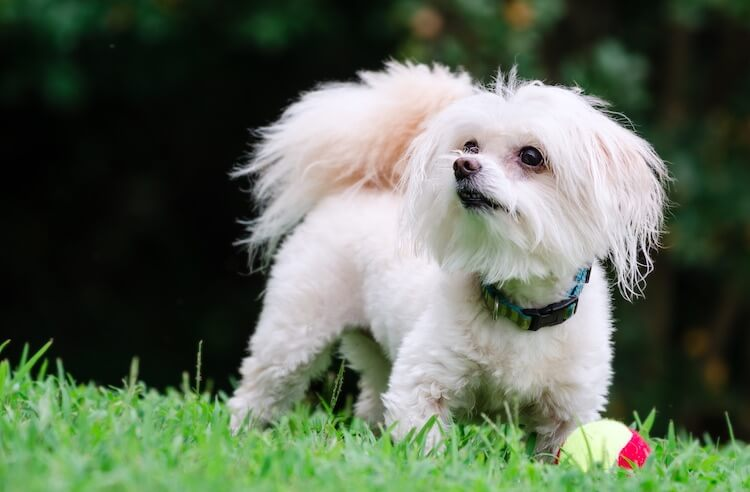 Maltese with Poodle mix