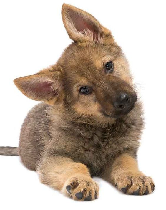 Mini German Shepherd