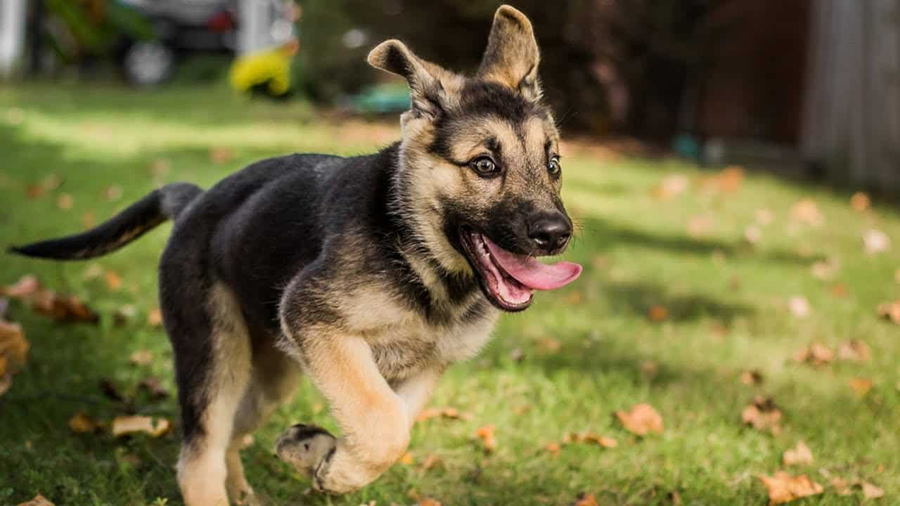 Miniature-German-Shepherd-Breed-