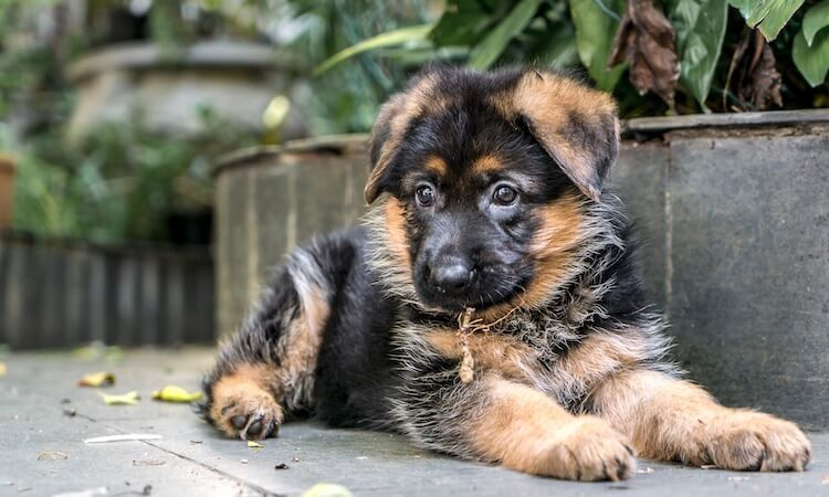Miniature-German-Shepherd