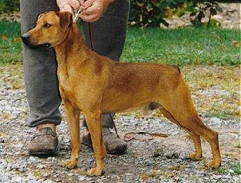 hypoallergenic dog a Mountain Cur