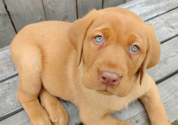 Red Fox Labrador retriever