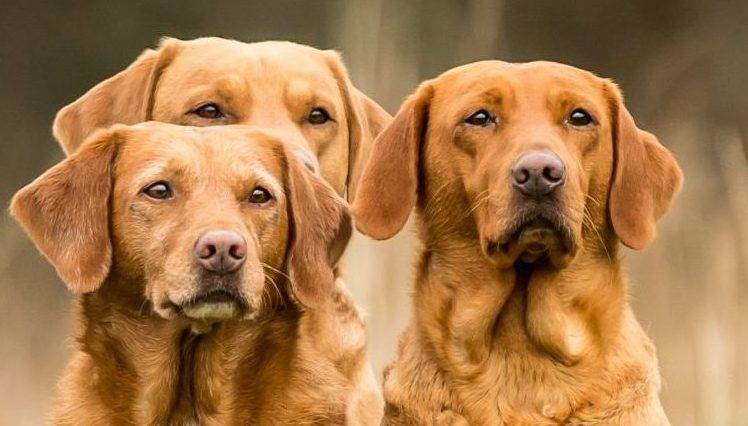 Red Fox Labradors