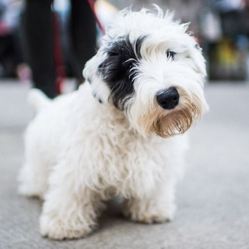 Sealyham Terrier a hypoallergenic dog
