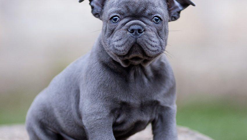 Solid-blue-puppy Bulldog
