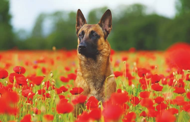 THE-BELGIAN-MALINOIS