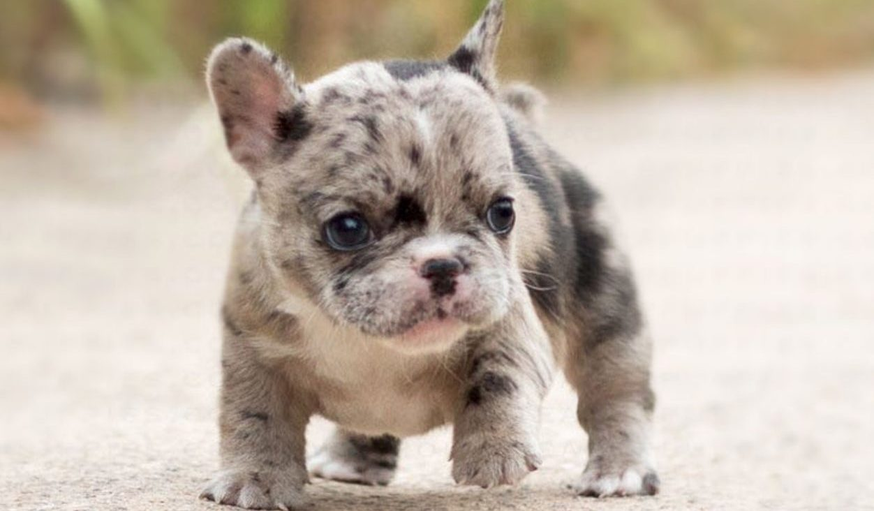 Teacup-French-Bulldog