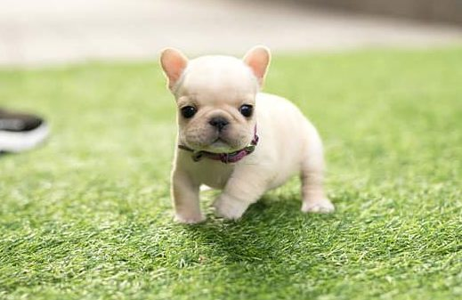 Teacup Frenchie Puppies
