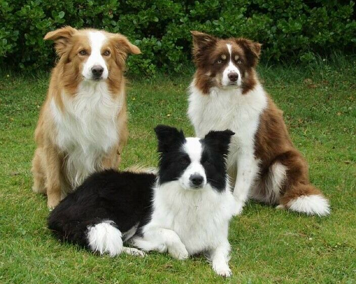The Highland collies