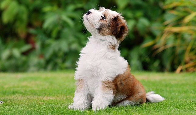 The Tibetan Terrier Guide
