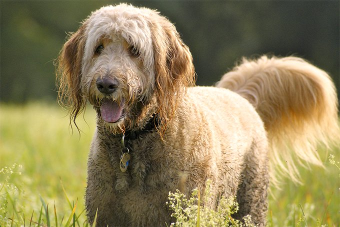 The different types of Goldendoodles