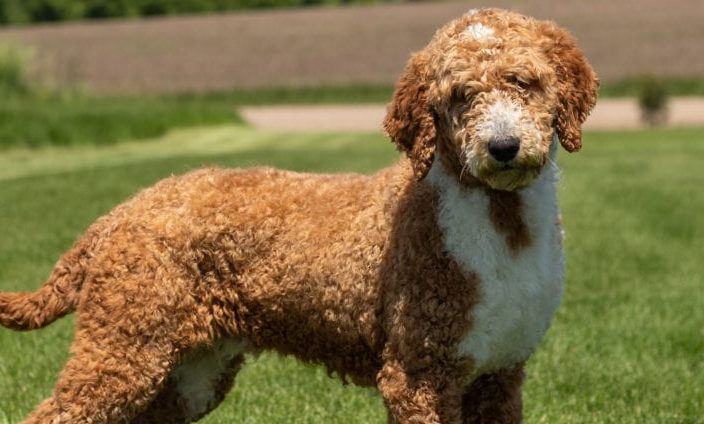 The red Goldendoodle is a true Teddy bear