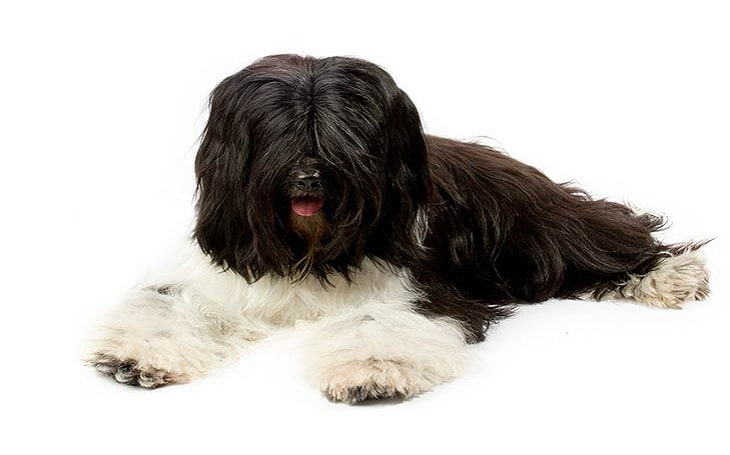 Tibetan-Terrier- is often confused for the Lhasa Apso