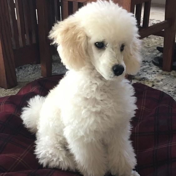 Toy Poodle a hypoallergenic dog