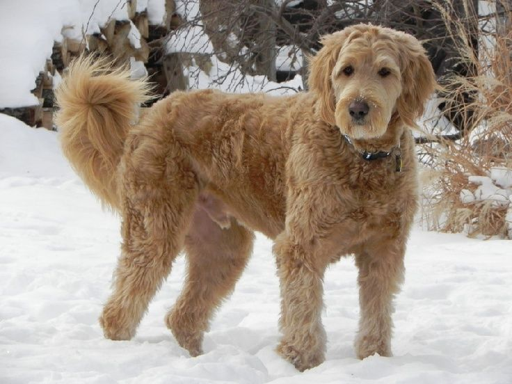 Wavy Goldendoodle coat