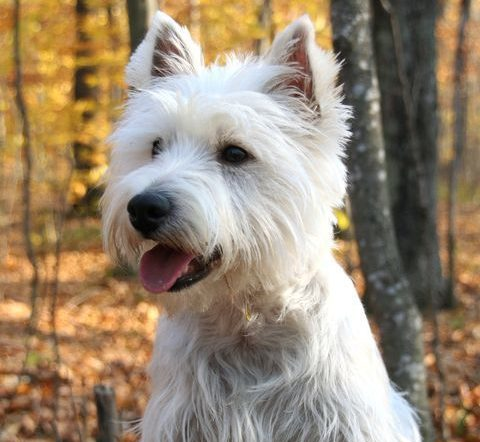 West Highland White Terrier a hypoallergenic dog