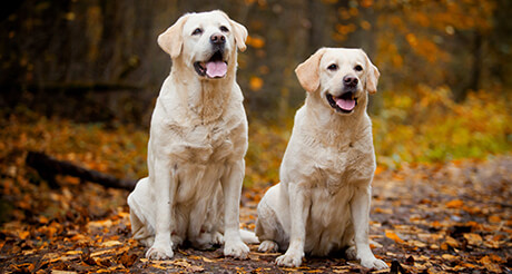 White lab dog names