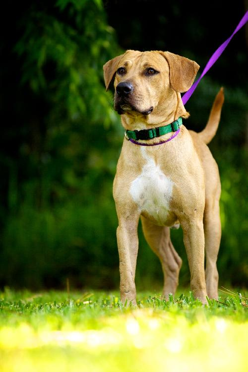 Yellow black mouth cur
