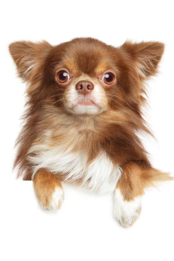 about the long haired Chihuahua