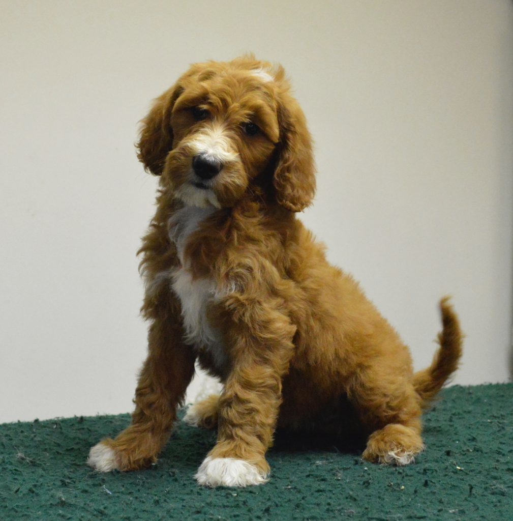 Goldendoodle with chrome markings