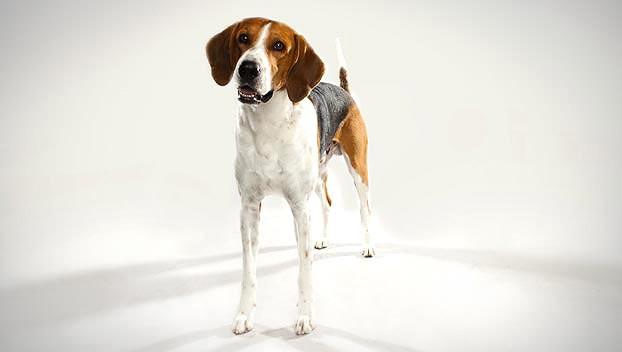 Dog Breeds foxhounds